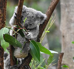 koala in adelaide